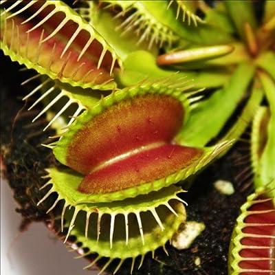 Venusfliegenfalle - Dionaea muscipula - 9cm Topf