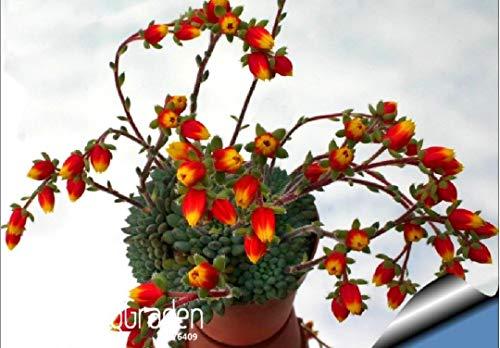Shoopy Star Promotion! 10pcs / pack belles graines de fleurs rares cactus graines vertes Kaktus