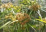 10.000+ Samen Freiland-Zyperngras -Cyperus glaber- Zypergras
