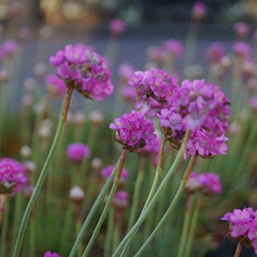 OBI Rosa Blüten