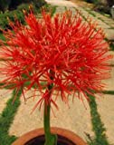 #7: Garden Care Haemanthus Lily (Football Lily) Pack Of 3 Bulbs