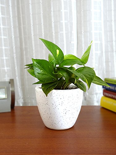 Rolling Nature Good Luck Money Plant in White Round Dew Ceramic Pot