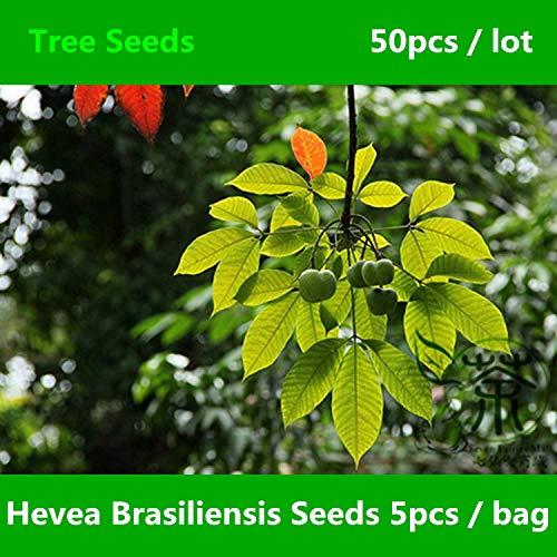 Shopmeeko Weit verbreitet Hevea Brasiliensis ^^^^ 50pcs, Family Euphorbiaceae Large Rubber Tree ^^^^, Neuartige Pflanze Xiang Jiao SHU ^^^^
