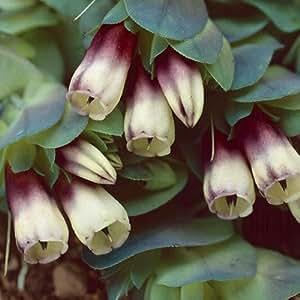 Plant World Seeds - Cerinthe Major Rhubarb And Custard Seeds