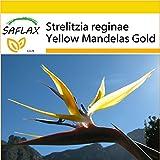 SAFLAX - Anzucht Set - Gelbe Strelitzie - Mandelas Gold - 4 Samen - Strelitzia reginae Yellow