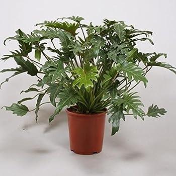 Philodendron Xanadu 80cm +/- , Topfgröße 27cm