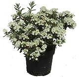 Ledum groenlandicum 'Compactum' - Grönländischer Porst - immergrüner blühender Strauch sehr winterharte Kübel- und Gartenpflanze 17 cm Topf Höhe: 30 cm