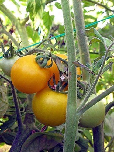 Gelbe Tomate 'Goldene Königin' (Solanum lycopersicum) Bio 10 Samen alte Sorte