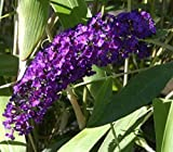 Schmetterlingsstrauch Royal Red - Buddleja davidii Royal Red (60-100)