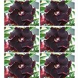 Smiela Adenium Obesum Samen Desert Rose Blumensamen Mehrjährige Blume Garten Bonsai Pflanzen Saatgut/ 51 Stücke