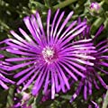 Stauden-Mittagsblume, Delosperma cooperi von VDG-Stauden - Du und dein Garten