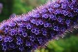 Echium candicans Blauer Natternkopf Stolz von Madreia 10 Samen