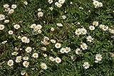 Wildes Gänseblümchen 500 Samen