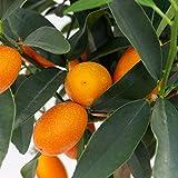 Dominik Blumen und Pflanzen, Kumquat-Stämmchen, Citrus fortunella margarita, 1 Pflanze, Zitrusgewächse, Zimmerpflanzen, Kübelpflanzen