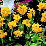 Portal Cool Canna - Tropical Yellow Serie - 5 Samen