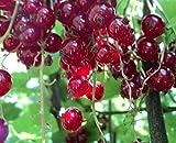 Rote Johannisbeere - Ribes rubrum - Jonkheer van Tets - alte bewährte Sorte, pflegeleicht