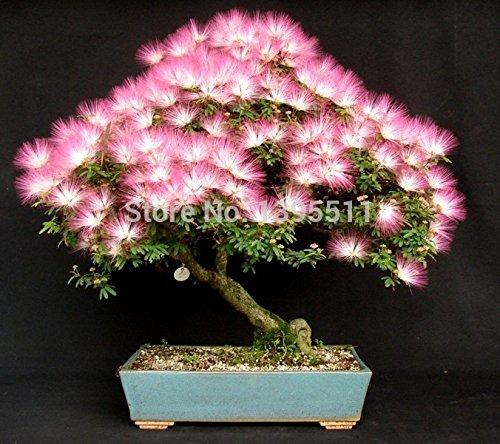 bonsaï populaire arbre graines 5 Albizia graines d'arbres et 1.99 20 rouge arbre d'érable japonais seulement $