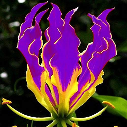 Casavidas ZLKING 1 Stück Lila Flamme -Lilienknollen Gloriosa Superba L. National Flower of Zimbabwe: Lila