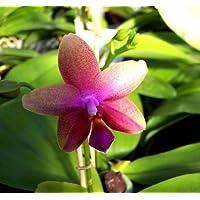 Mühlan Aquatic Plants - Orchidea pronta per la fioritura della specie Phalaenopsis Liodoro, vaso da 12 cm, profumo intenso