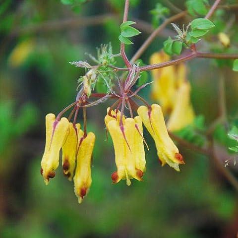 Dicentra Torulosa Seeds