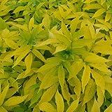 Sureau noir - Sambucus nigra 'Aurea'