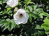10 Stk. weiße Apfelrose, Hagebutte, Kartoffelrose 'Alba' - (Rosa rugosa 'Alba'), Containerware 40-60 cm