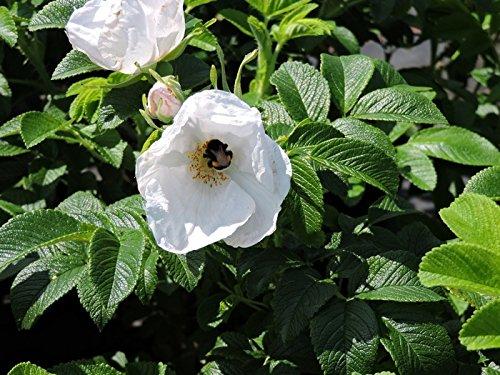 1 Stk. weiße Apfelrose, Hagebutte, Kartoffelrose 'Alba' - (Rosa rugosa 'Alba'), Containerware 40-60 cm
