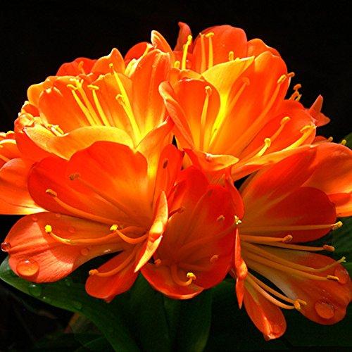 WuWxiuzhzhuo 1afrikanischen Kaffir Lily Klivie Samen, Beautiful Garden Yard Flower Plant 1
