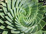 Pinkdose® 50 Pcs MESA Aloe rotation polyphylla aloe vera reine graines graines de plantes grasses pour le bonsaï Livraison gratuite