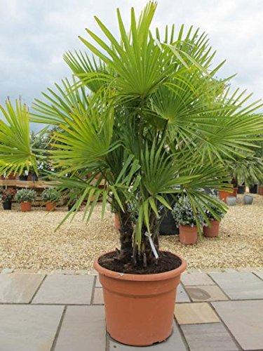 Chinesische Hanfpalme-Trachycarpus fortunei 10 Samen