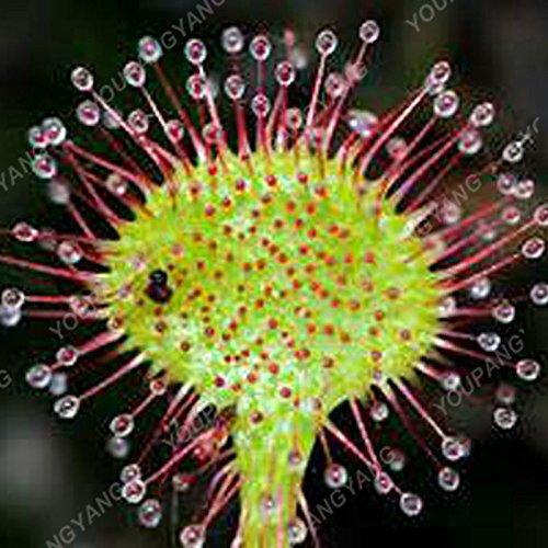 50 Pcs Jardin Plante en pot Flytrap Graine Bonsai Dionaea géant clip Graines Dionée Plante carnivore Plante Graines Lumière jaune
