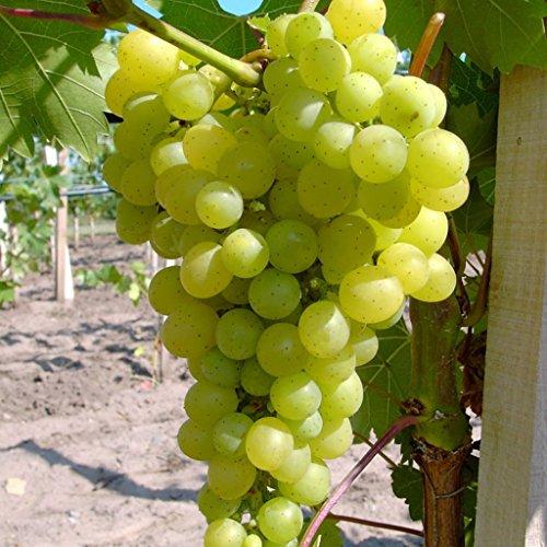 Lakemont, pilzfester Wein, kernlos und pilzfest, helle Traube, gestäbt im 2 Liter Topf