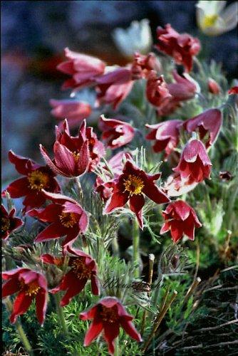 Staudenkulturen Wauschkuhn Pulsatilla vulgaris 'Rote Glocke' - Küchenschelle - Staude im 9cm Topf