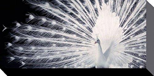 Set: Pfauen, Werbender Weißer Pfau, Tim Flach Poster Leinwandbild Auf Keilrahmen (100x50 cm) + 1x 1art1® Aktions-Home-Deko Artikel