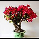 semi di melograno bonsai molto dolce semi di frutta Delicious, semi di piante grasse Albero 10 Semi / pacchetto