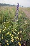 Just Seed Gewöhnlicher Natternkopf, Echium Vulgare, Britische Wildblume, 300 Samen
