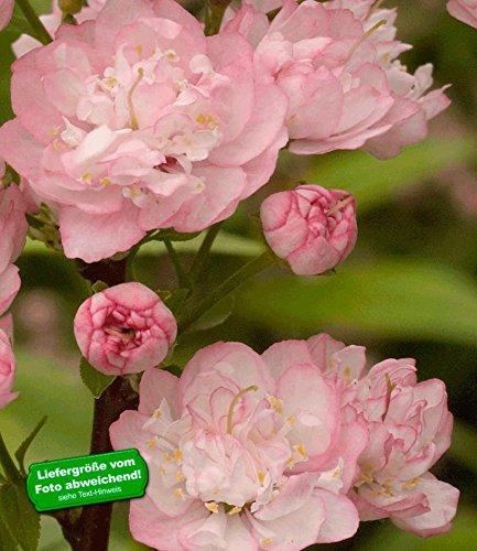 Prunus triloba Hochstamm Mandelbäumchen 80-100cm