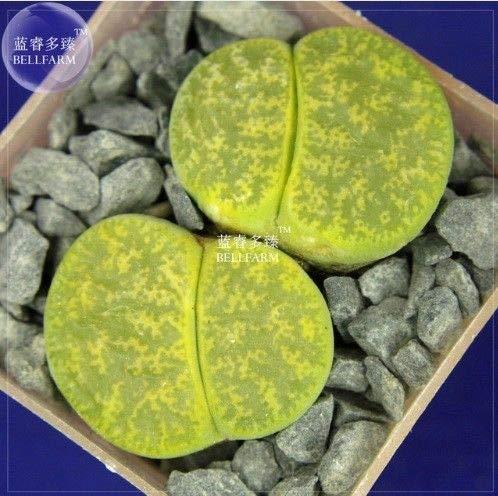PLAT FIRM GRAINES DE GERMINATION: BELLFARM Bonsai Lithop aucampiae cv 'Jackson's Jade' -10 graines/pack