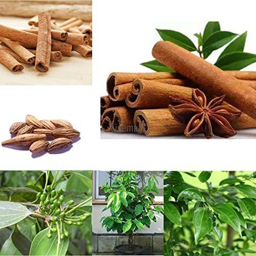 Weltbester Zimt/Seltener Ceylon Bio Zimt Eine Pflanze/Verwurzelt - Zimt-rinde-baum