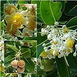 PLAT FIRM GERMINATIONSAMEN: Calophyllum inophyllum 10 Samen, alexandrinischen Lorbeer, Schöne-Blatt