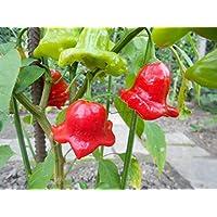 Bishops Crown-Bischofs-Krone o. Glockenpaprika 10 Samen ***Eine der schönsten Chilis*** Von Samenchilishop
