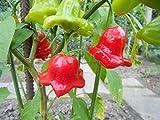 Bishops Crown-Bischofs-Krone o. Glockenpaprika 10 Samen ***Eine der schönsten Chilis*** Von Samenchilishop -