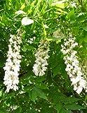 TROPICA - Glycine de Chine blanche (Wisteria sinensis alba) - 4 graines- Magie tropicale