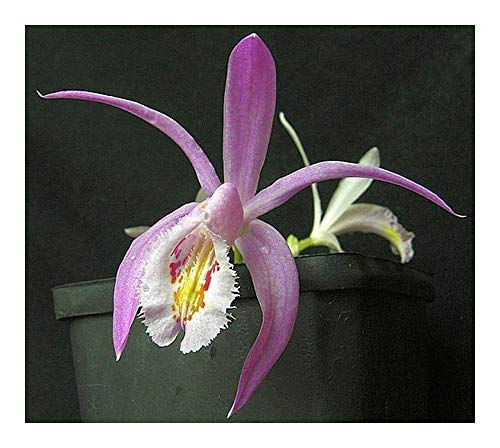 Pleione praecox - orchidées - 100 graines