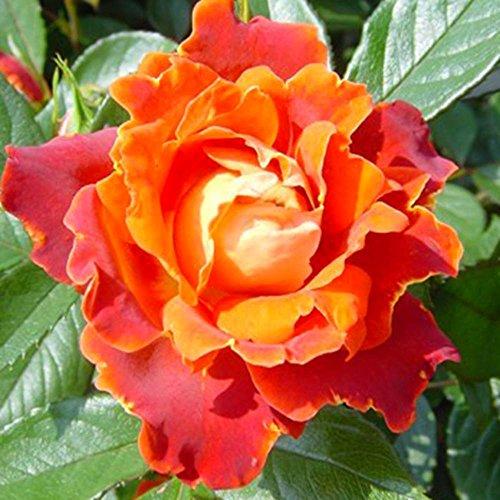 rosier-polyantha-chocolate-ruffle-1-rose