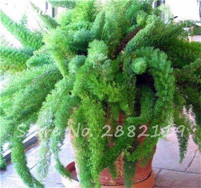 120 Pcs rares Wu bambou sétaire semences de plantes ornementales Bonsai herbes Plantes vivaces Jardin intérieur Graines Potted Fresh Air Facile à cultiver 2