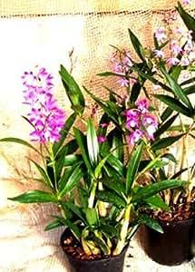 1 fioritura abilitato Orchidea il varietà: Dendrobium kingianaum, 12cm Pentola