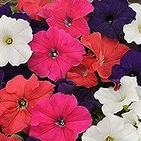 Petunias Caja 15 plantas PORTES GRATIS (Variadas)