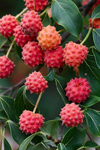 PLAT FIRM GERMINATIONSAMEN: CORNUS KOUSA, chinesischer Hartriegelbaum weiße Blumen rote Frucht-Pflanzensamen -10 Samen