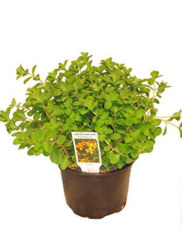 Johanniskraut Pflanze, Frische Kräuterpflanze aus Nachhaltigem Anbau